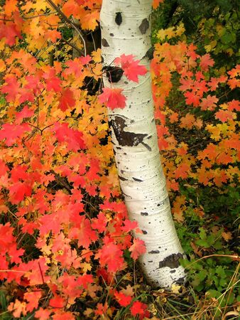 Detail of several aspen birch trees with golden yellow leaves photo