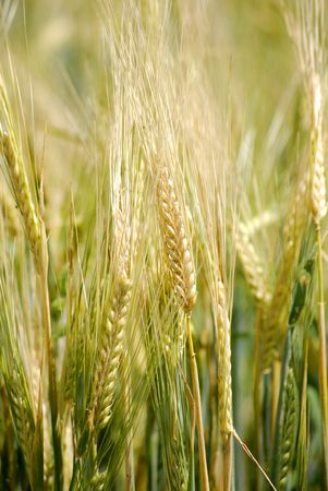 Closeup detail of grain growing in a field photo