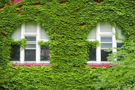 Closeup detail of green ivy on wall of building with windows photo