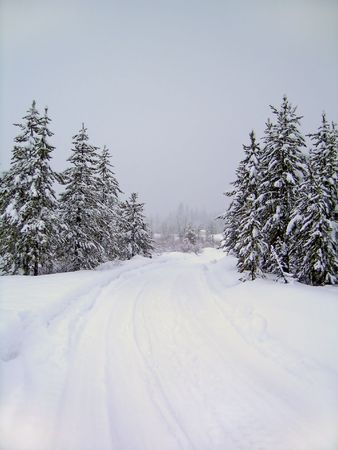 blanketed: Road through stand of pine trees covered in snow in the winter