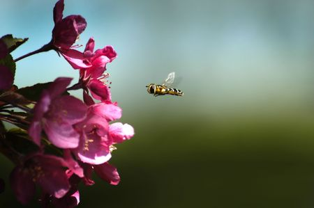 Honey bee flying in air close to pink flowers Stock Photo