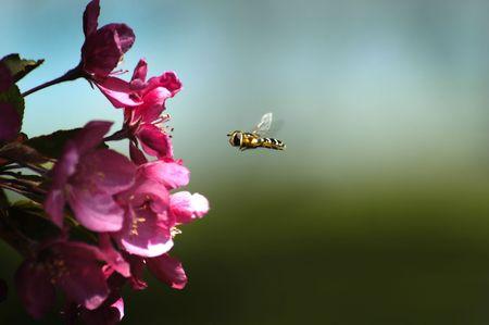 miel de abeja: La miel de abejas volando en el aire cerca de las flores de color rosa