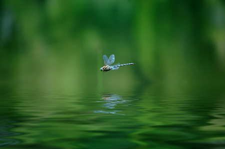 with reflection: Reflection of dragonfly hovering over lake water