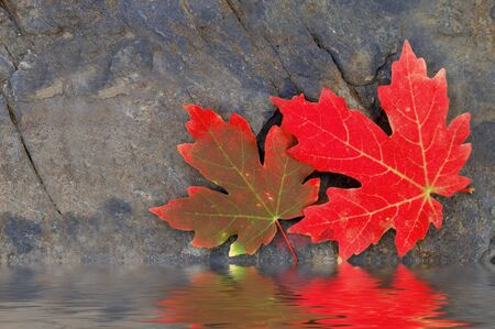 Reflection of Red Autumn Maple Leaves with Rock in Background photo