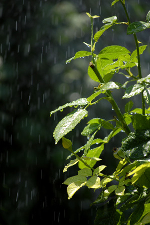 sprinkling: Rain drops falling on green plants and leaves Stock Photo