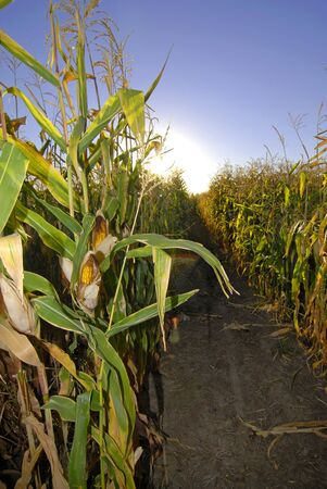 furrow: Corn field furrow with stalks of corn and cobs showing Stock Photo