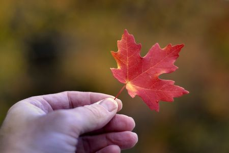 Detail of red maple leaf held in hand with autumn trees in background