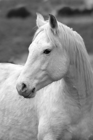 Closeup portrait of white horse with blurred background Standard-Bild