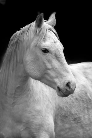 Closeup portrait of white horse with black background Stock Photo