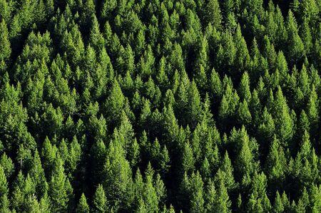Blick auf Wald der grünen Kiefern am Berghang  Standard-Bild