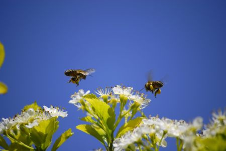 avispa: Varias abejas volando por ah� flores  Foto de archivo
