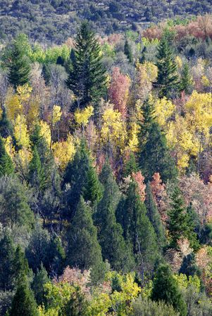 mountainside: View of forrest of green pine trees and falls colors on mountainside Stock Photo