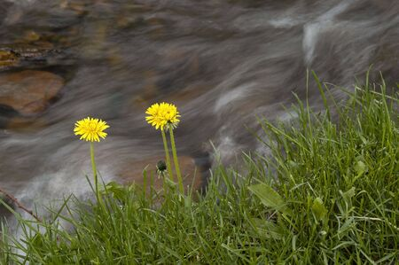 River water flowing past rocks and stones with yellow flowers photo