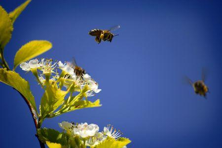 miel et abeilles: Plusieurs Honey Bees Flying Autour des fleurs Banque d'images