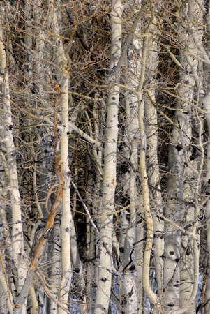 雪と冬の森の木のグループ
