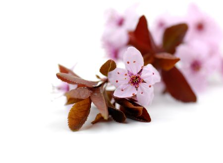 Twig with fresh cherry blossoms on white background Stock Photo