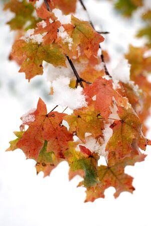 Detail of Red Autumn Maple Leaves with Snow in Background