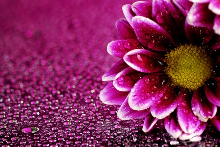Fresh pink and purple flower with water drops photo