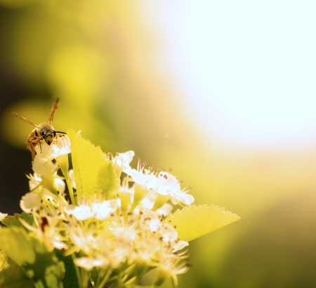 bee on flower: A single Bee Resting on a Flower Petal Stock Photo