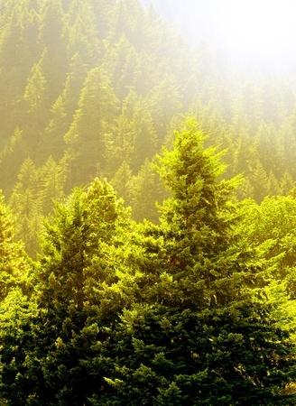 View of forrest of green pine trees on mountainside with warm glowing sunlight Banco de Imagens