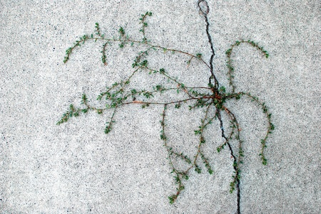 unwanted flora: Long green plant growing out of crack in cement sidewalk Stock Photo