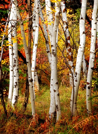 birch: White fall birch trees with autumn leaves in background