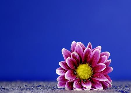 Fresh purple flower with dew drops on blue backgound photo