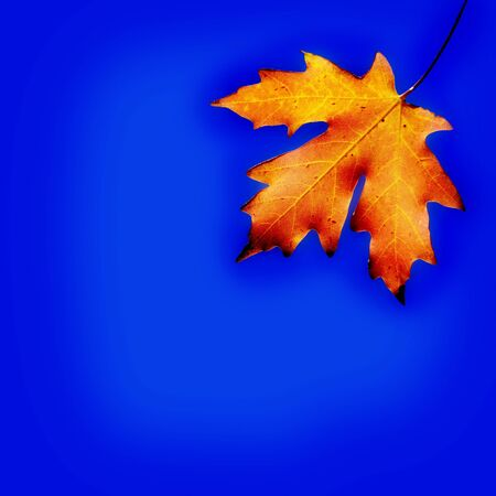 vibrant colors: Autumn orange maple leaf with blue background Stock Photo