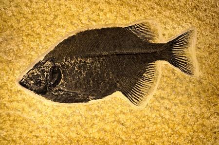 prehistoric fish: Fossil of ancient prehistoric fish on rock