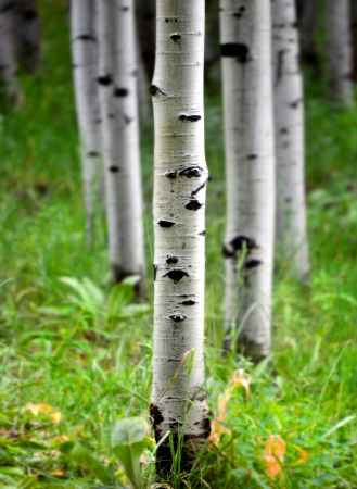 Detail of several aspen birch trees with green summer leaves 版權商用圖片