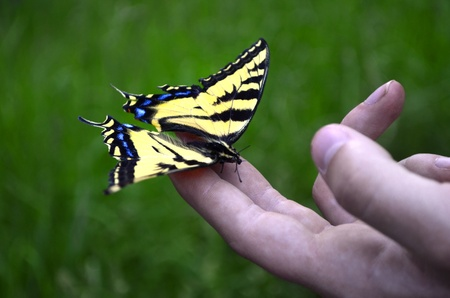 softly: Yellow monarch butterly landing on persons fingers