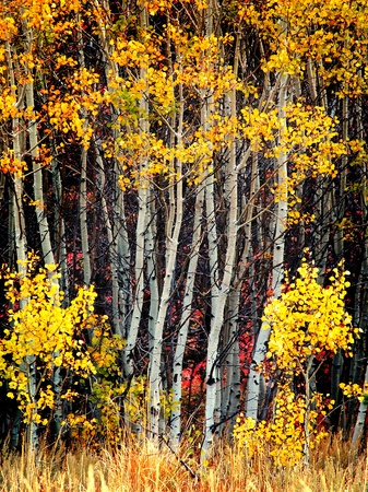 birch bark: Detail of several aspen birch trees with golden yellow leaves Stock Photo