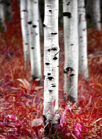 bark background: Detail of several aspen birch trees with red fall leaves
