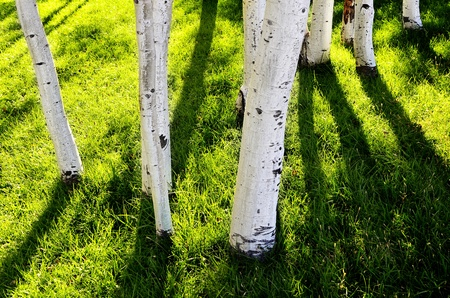 Several white aspen trees with dark shadows and green grass photo