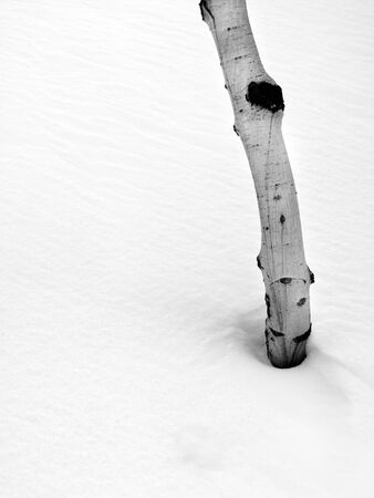 icey: Single Aspen Tree in the Forrest in the Winter with Snow Stock Photo