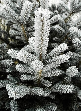 frigid: Close up of branches and pine needles covered with frost Stock Photo