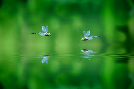 Reflection of two dragonflies hovering over lake water photo