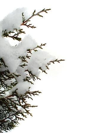 freshly fallen snow: Sempreverde ramo di albero coperto di neve appena caduta