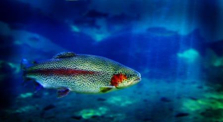Single trout swimming in clear blue water in stream or lake Stockfoto