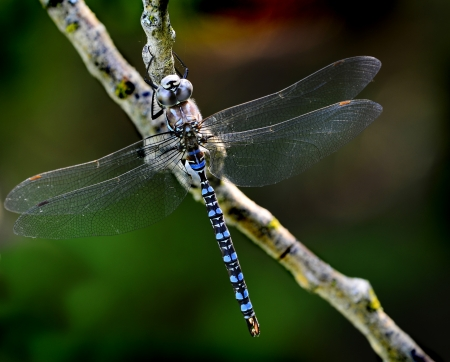 Adult blue dragonfly resting on a branch with wings stretched out photo