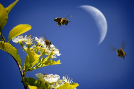honey moon: Several Honey Bees Flying Around Flowers with out of focus Moon in background Stock Photo