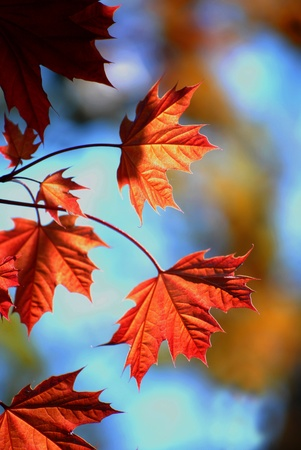 maple leaf: Detail of Red Autumn Maple Leaves with Tree in Background Stock Photo