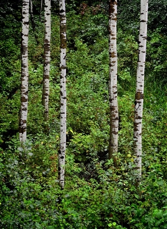 aspen leaf: Detail of several aspen birch trees with green summer leaves Stock Photo