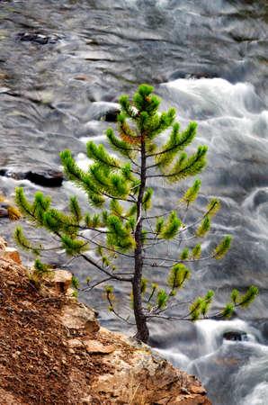 lone pine: Vista de un peque�o pino solitario con un r�o de rodadura en el Parque Nacional de Yellowstone Foto de archivo