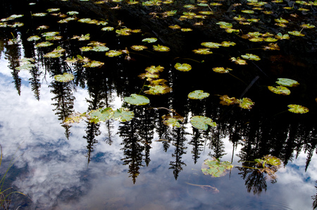 waterlillies: Lilly pads and pine tree reflection in small lake in Yellowstone National Park
