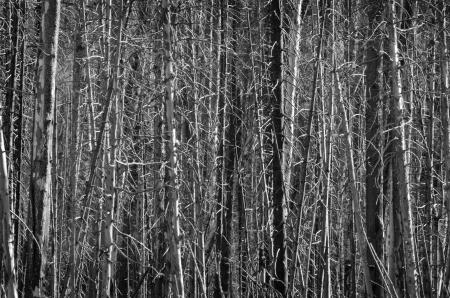 arboles secos: Bosque de pino viejo en el parque nacional de Yellowstone de los incendios queman Foto de archivo