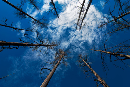 Old pine tree forrest up towards sky with clouds photo