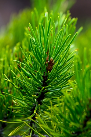 boughs: Details of pine boughs and needles from forest