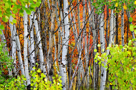 birch forest: Autumn foliage including birch and maple trees with pine forest