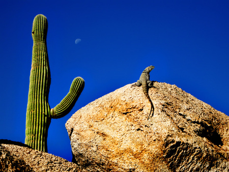 Lizard sunning on rock with saguaro and moon in desert southwest Фото со стока